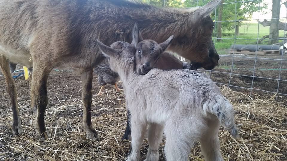 Newspaper coverage, moving day nears, baby goat birth video and a teaser…