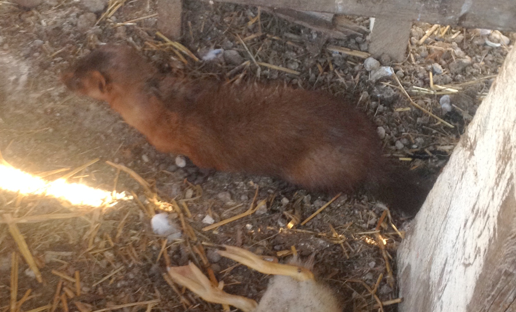 Wildlife Encounters on the Homestead: The American Mink
