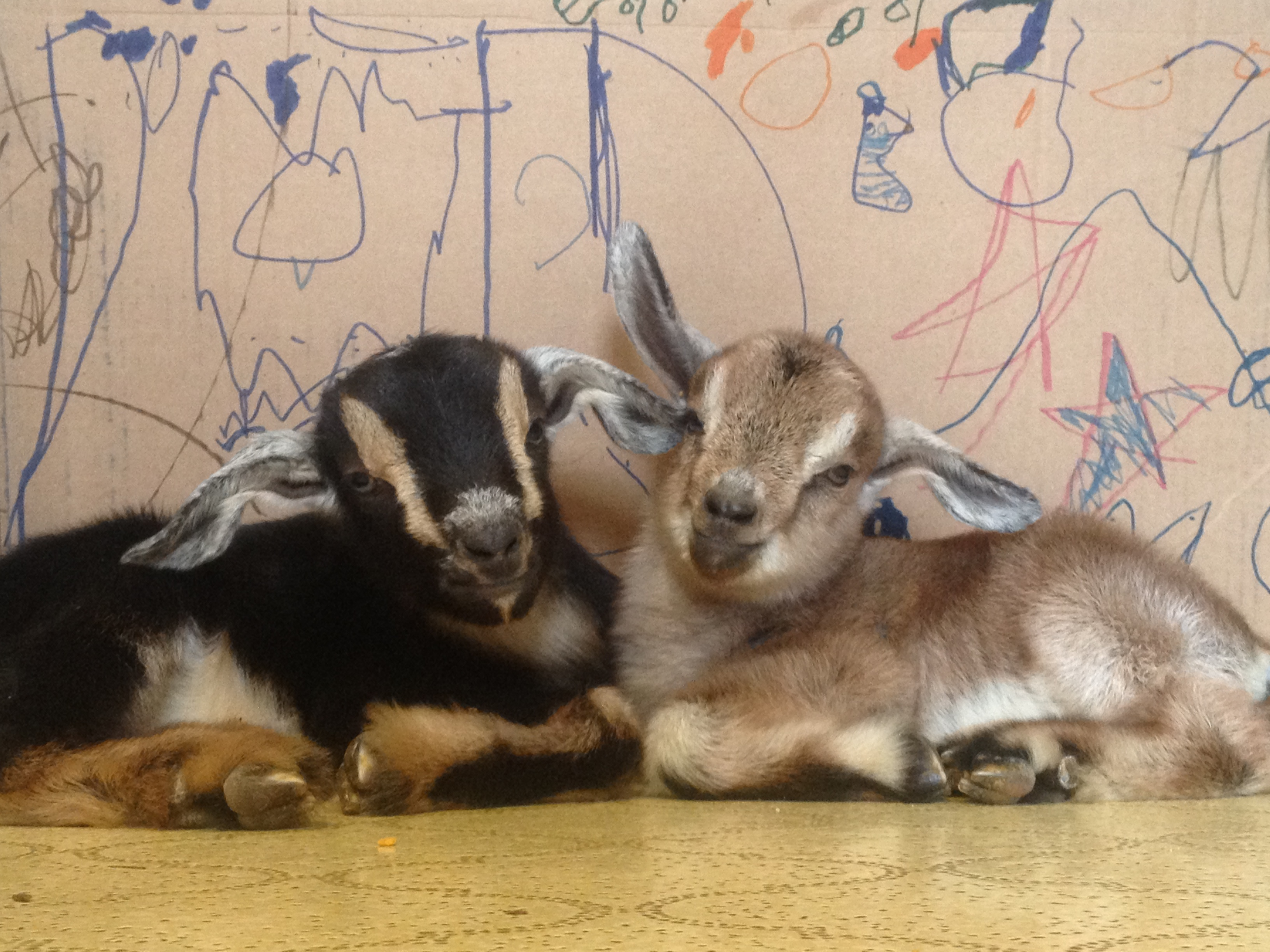 Counting down to goat kids…